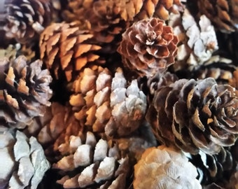 Black Spruce Pine Cones, Natural Pine Cones, Home or Wedding Decor, Fall or Winter Decor, Crafts Wreaths Ornaments Potpourri