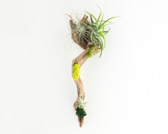 Air Plant Wall Display, Driftwood Centerpiece, Plant Wall Art, Housewarming Gift, Living Room Plants, Unique Wall Accents, Gifts for Her