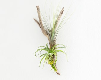 Hanging Driftwood Display, Air Plant Centerpiece, Living Wall Art, Plant Wall Hanging, Grandma Gifts, Living Room Wall Display, Gift for Her