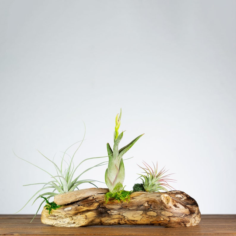 Air Plant Centerpiece Mom Gift Living Room Table Accent Home Decor Plant Office Gift Driftwood Table Top Display Plant Shelf Decor