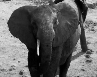 Confrontation - Photo of a Male Elephant in Tsavo National Park, Kenya