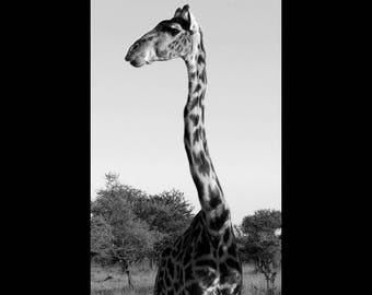 Model - Photo of a Giraffe in Serengeti National Park