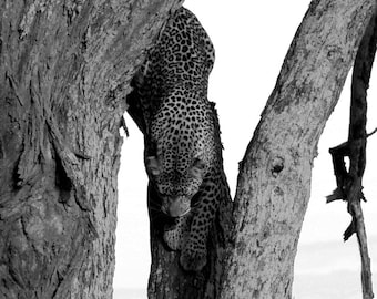 Descent - Photograph of a Leopard in Serengeti National Park