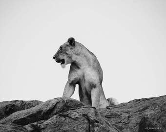 Rise - Photograph of Young Male Lion in Serengeti, Africa
