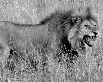 Challenger - Photograph of Male Lion in the Serengeti