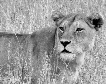 Interest - Photograph of a Lioness in Serengeti
