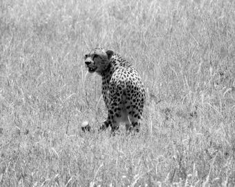 Spotted - Photograph of Cheetah in Serengeti National Park