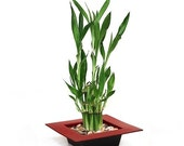 two tiered lucky Bamboo -red pot