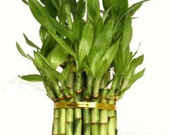 3 Tier 4 quot 6 quot 8 quot Top Quality Lucky Bamboo For Feng Shui (Total About 38 Stalks) (FREE SHIPPING)