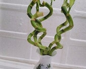 Live Spiral 5 Style Lucky Bamboo Plant Arrangement with Vase Diamond Ceramic Vase (FREE SHIPPING)