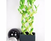 Live 8 Braided Style Lucky Bamboo Plant Arrangement with Black Vase (FREE SHIPPING)