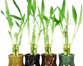 Live 3 Style Party Set of 4 Bamboo Plant Arrangement w Ceramic Vase (FREE SHIPPING)