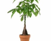 5 Money Tree Plants Braided into 1 Tree -Pachira-4 quot clay pot for better growth between 10-12 inches tall (FREE SHIPPING)