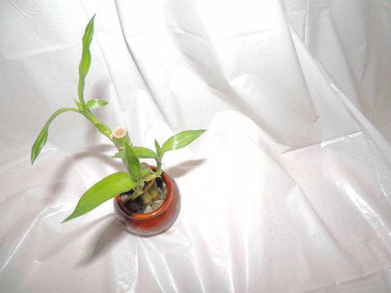 FREE SHIPPING Lucky bamboo 6 inches and 4 in stalks in a vase