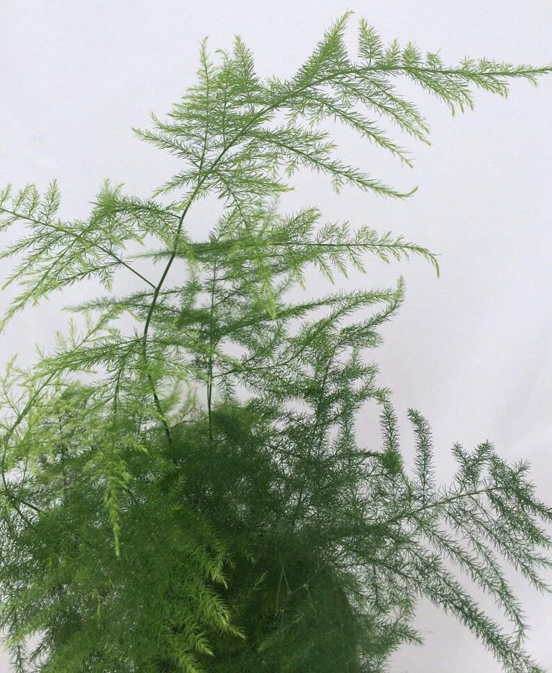 Fern Leaf Plumosus Asparagus Fern Easy to Grow 4ceramic Pot FREE SHIPPING