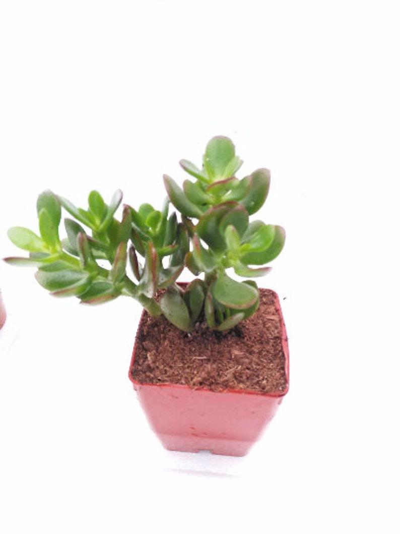 2.5 Jade Plant FREE SHIPPING Easy to Grow Crassula Ovuta