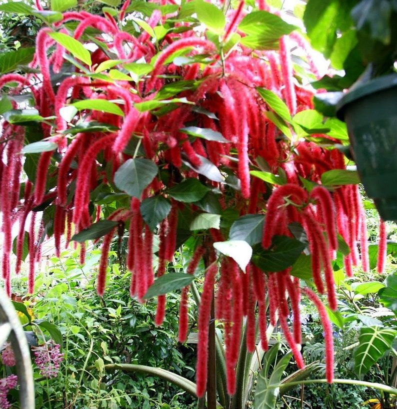 Chenille Firetail Plant Cat Tails Plant Acalypha Pendula Etsy