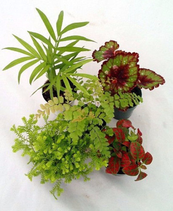 image 0 - Fairy Garden Plants