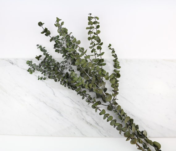 green, preserved eucalyptus baby blue branch in approx. 60 cm length dried flowers Eucalyptus for decorating & crafting