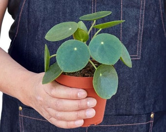 Pilea Peperomioides ( Chinese Money or Friendship Plant)