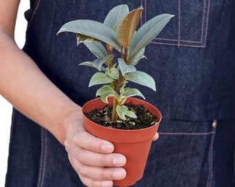 Variegated Rubber Tree Plant - Variegated Ficus