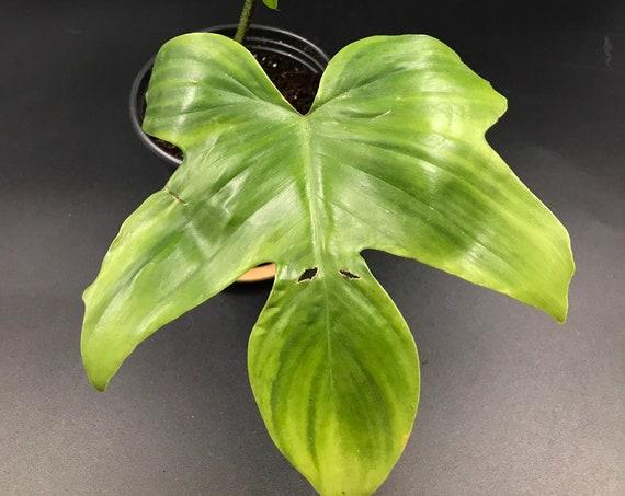 RARE PLANT: Philodendron Squamiferum Not Hairy (Pedatum)