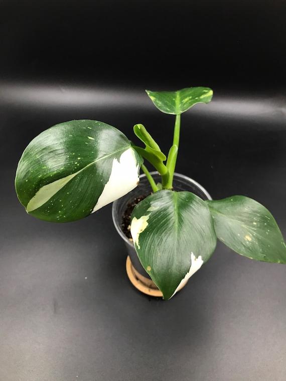 RARE PLANT: Philodendron White Wizard