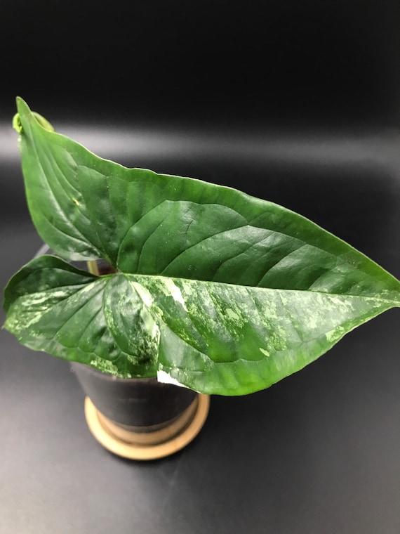 Syngonium Podophyllum 'Albo Variegatum'