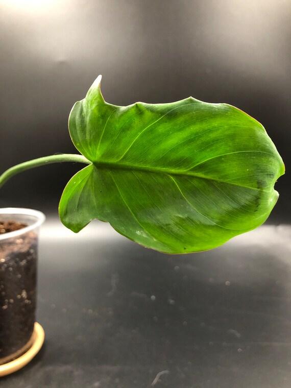 RARE PLANT: Philodendron Camposportoanum