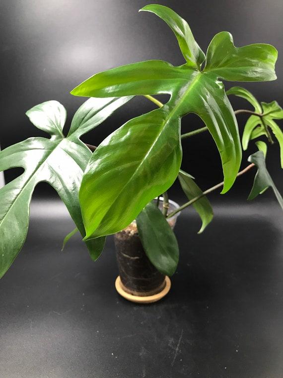 Philodendron Florida Green