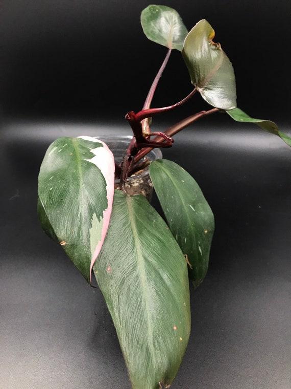RARE PLANT: Philodendron Pink Princess