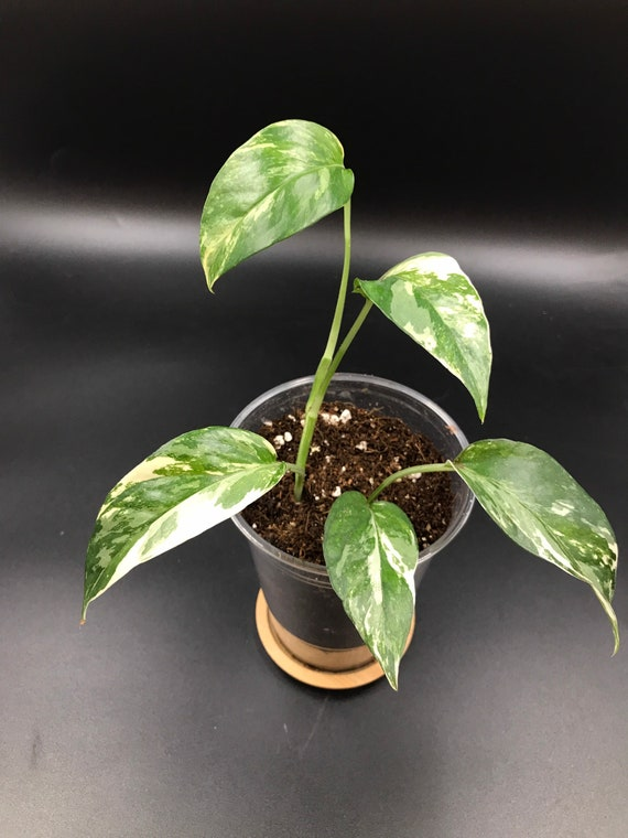 RARE PLANT: Epipremnum Pinnatum Variegated