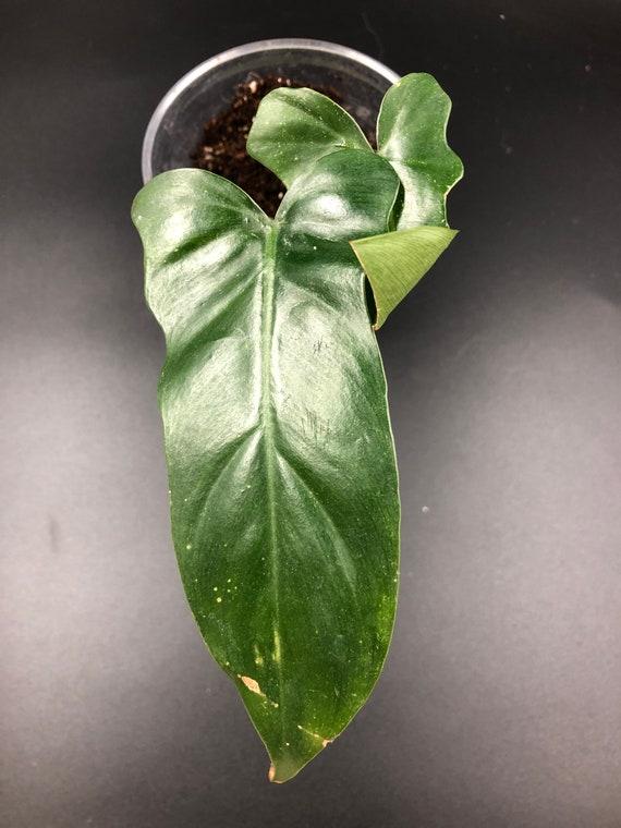 RARE PLANT: Philodendron Bipennifolium 'MM25' (Fiddleleaf Philodendron)