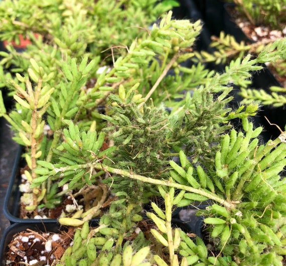 epiphyllum Rhipsalis mesembryanthemoides mistletoe plant cactus orchid cactus rare succulent plant white flowers