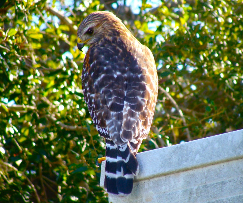 Red-shouldered Hawk - Digital photo for download