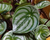 Peperomia argyreia (Watermelon Peperomia)