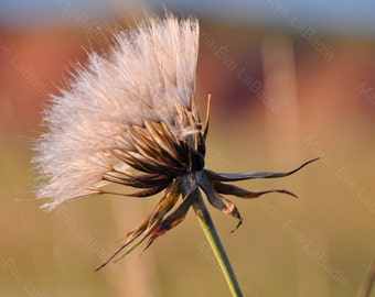 Photography art decor, a dandelion in a field: seeds - Marie - Eve LaBadie