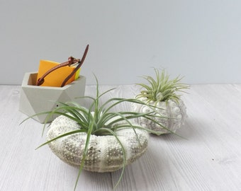 duo of sea urchin air plant holders // desk accessory // cute gift // wedding favor // air plant // sea urchin plant