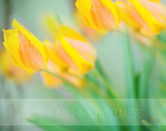 Yellow Tulips - Large digital file instant download