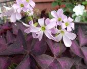 Oxalis Triangularis Bulbs Tubers, Easy To Grow, Purple Shamrock, Good Luck Plant, Purple Rain, Love Plant
