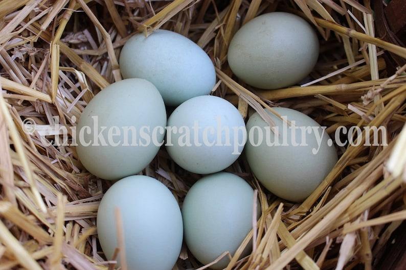 Pastel Blue And Green Fertile Chicken Eggs 6 Crested Cream Legbar Hatching eggs 6+ Fertile Chicken Hatching Eggs Chicken Eggs