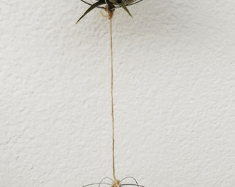 Air plants. Tillandsias in double wire structure.