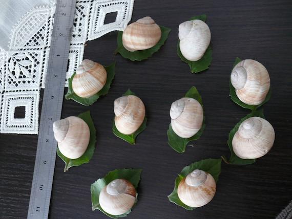 10 Snail Shells Home Decor Craft Projects Snail Shell Supplies