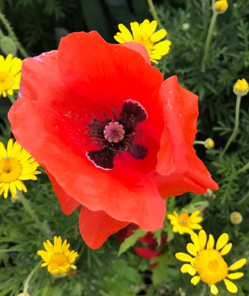 100 Corn Poppy Seeds Papaver Rhoeas Ornamental Garden Flowers