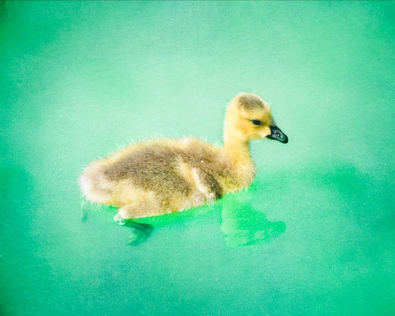 An Adorable Baby Duckling Close-Up Photo Print 8x10 In