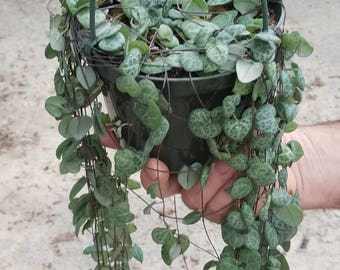 """Ceropegia Woodii """"String of Hearts""""  (5) cuttings 8"""" long each"""