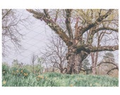 Spring Field Backdrop Download Printable Daffodils Jonquils Yellow wildflowers Flowers bride backdrop Fairytale Composite Old Tree Wedding