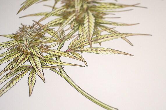 Illustration Botanique Fleurs De Cannabis Dessin Etsy