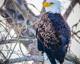 Bald Eagle III