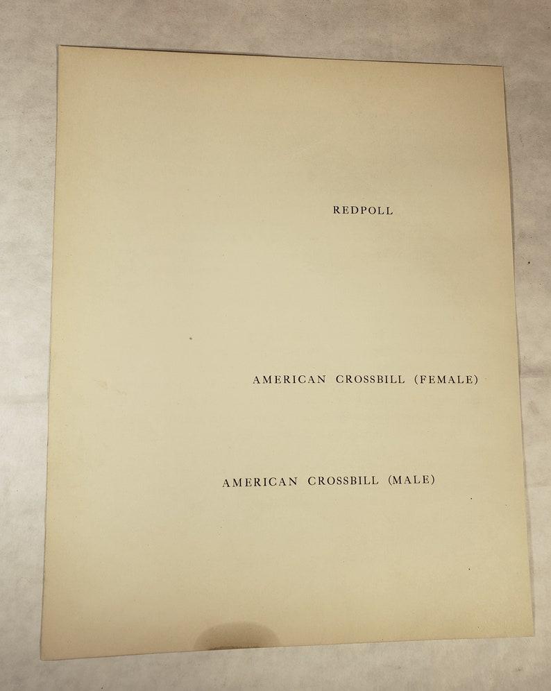 Original Vintage BIRDS Print ~ American Crossbill and Redpoll 1930/'s Book Illustration by Walter Alois Weber